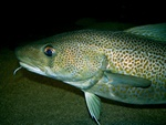 Atlantic cod (Gadus morhua)